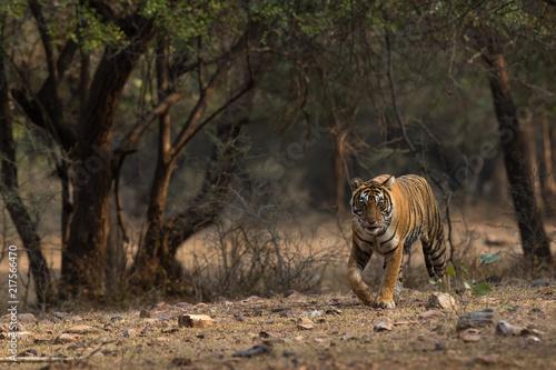 Canvas Tijger Royal Bengal Tiger Habitat Ranthambore Tiger Reserve Rajasthan India