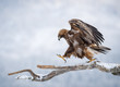 Golden eagle walking on pine branch
