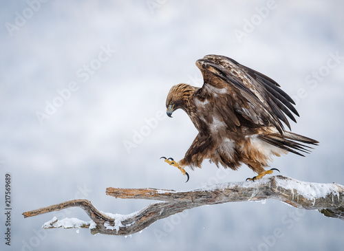 Foto Spatwand Eagle Golden eagle walking on pine branch