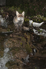 Fox, vulpes vulpes, in a waterfall with ice