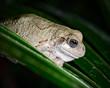 Albino macro frog