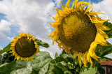 Sonnenblume mit blauen Himmel und Wolken als Hintergrund am sonnigen Tag
