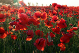 Poppy meadow in the beautiful light of the evening sun - 217585074