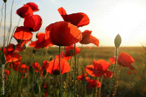 Foto Spatwand Klaprozen Poppy meadow in the beautiful light of the evening sun
