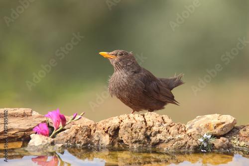 Foto Murales Blackbird drinking water in a pond