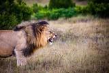 alsion lion roaring
