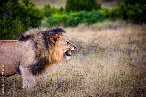 Canvas Lion alsion lion roaring