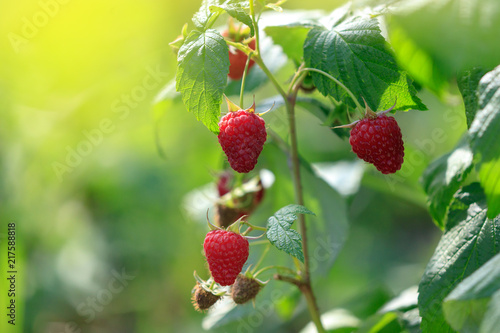 Foto Murales Red ripe raspberries in the garden