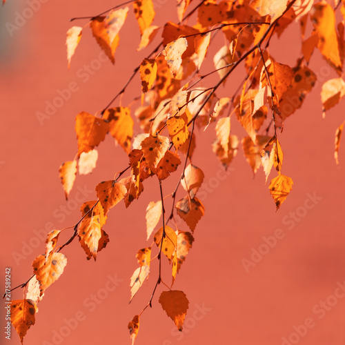 Red leaves on birch trees in autumn - 217589242