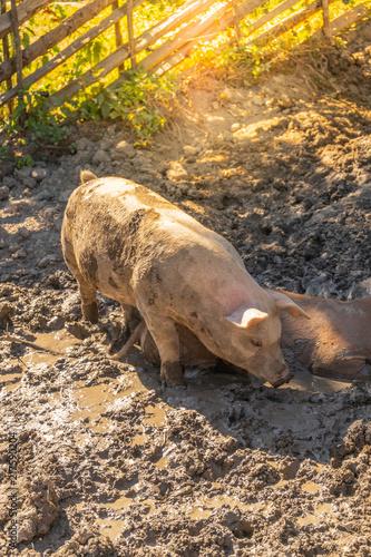 Foto Murales Young pigs enjoying dirt bath