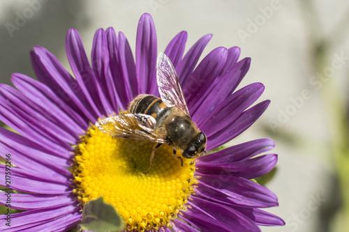 In de dag Bee bee sitting on a purple flower, macro