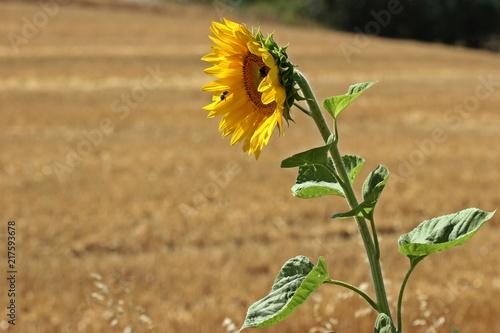 Foto Murales Blühende Sonnenblume mit Hummel und Biene im Anflug