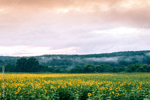 Foto Murales Sunflower field on the farm at sunset after the storms