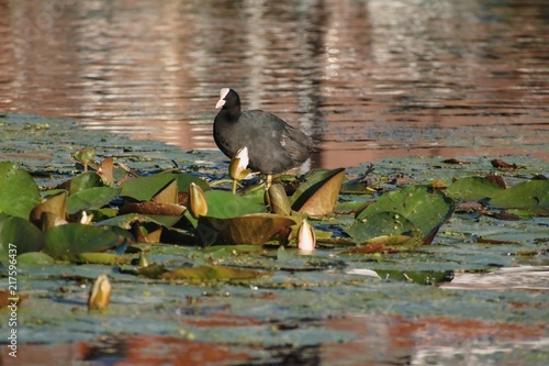 Foto Murales The bald-coot costs on lily leaves.