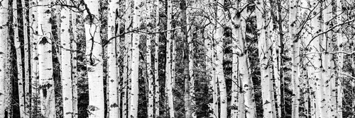 Birch Tree Forest - 217598295