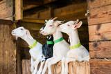 Jeune chèvres blanche sur porte d'étable - 217605841