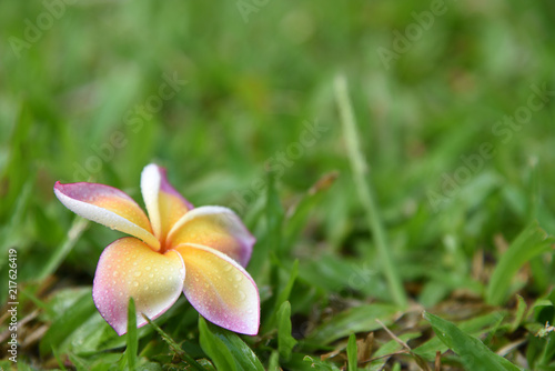 Plexiglas Plumeria Plumeria in morning natural greensward background