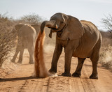 Elephant throws dirt onto its back