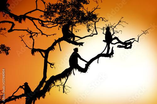 Foto Spatwand Aap Silhouette of a monkey