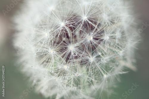 Foto Spatwand Paardenbloemen macro for dandelion