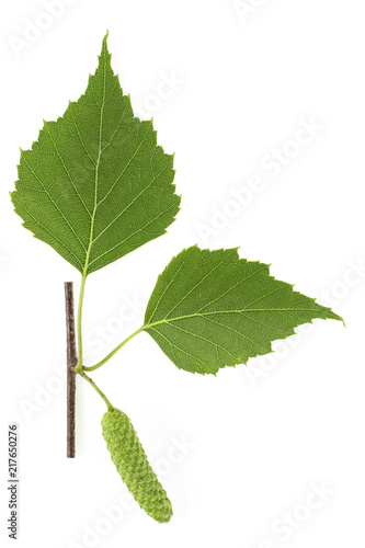 Branch of birch tree with green leaves and catkins isolated on white background - 217650276