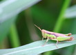 beautiful young grasshopper in fresh natural