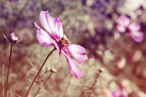Pink cosmos flowers and bee. Flowers background.