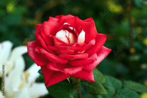 Beautiful red rose with  leaves in  summer garden