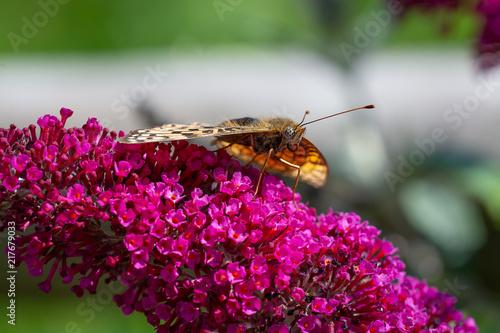 Canvas Vlinder Perlmutterfalter auf Sommerfliederblüte