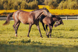 Horses are playing in paddock  - 217682006