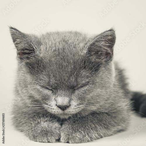 Foto Spatwand Kat british shorthair kitten