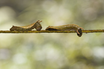Caterpillar of common lascar butterfly ( Pantoporia hordonia ) walking on host plant twig