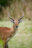 deer front view face - 217688813