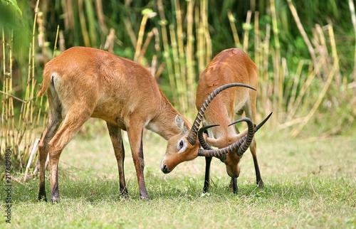 Canvas Hert fight deer with horn