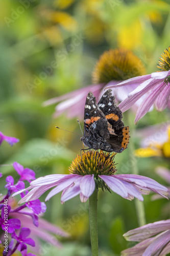 Foto Spatwand Vlinder butterfly of the order Lepidoptera