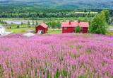Beautiful fireweed flowers meadow in Swedish mountains - 217699445