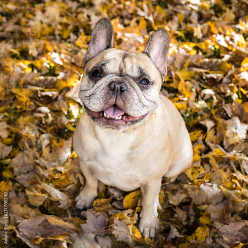 Canvas Franse bulldog Portrait of Fawn French Bulldog Sitting on Autumn Leaves.