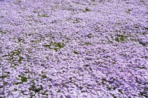 Aluminium Purper 埼玉県の羊山公園の芝桜