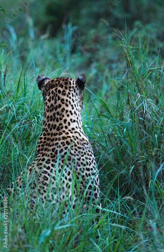 Leopard back of head