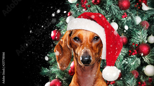 Foto Murales Dachshund in a christmas hat against decorated christmas tree backgound