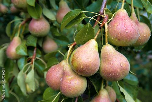 Zbiór dojrzałych gruszek na gałęziach.