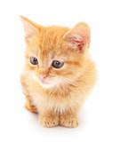 Small red kitten