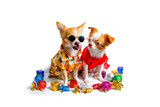Chihuahua dog wearing a dress in a festive atmosphere on a white background.