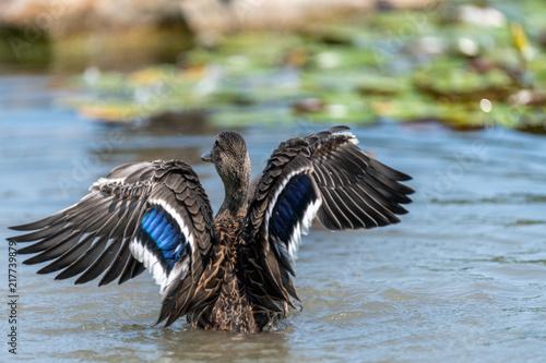 Foto Murales Duck in the pond