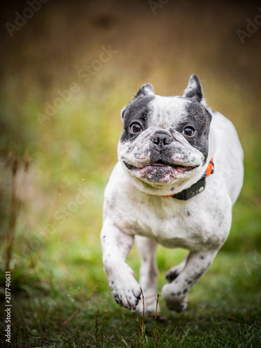 Canvas Franse bulldog The French Bulldog