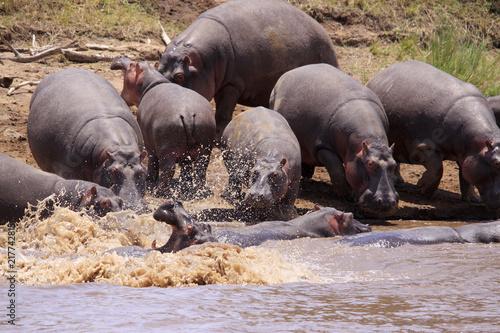Poster Flusspferd (Hippopotamus amphibius), Gruppe am Mara River, Kenia, Ostafrika