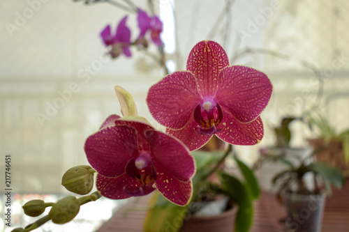 close-up of two orchids - 217746451