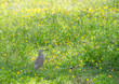 Quadro bird walk on the field of pinto peanut