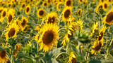 Field of sunflowers. Summer landscape. Sunflower harvest. Bright Flowers. Summer background