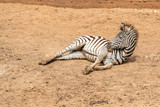 A female foal or baby zebra is lying on the sand in the zoo